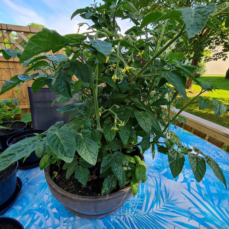 Det växer lite överallt.   Choklad habanero, Scotch bonnet safi, flera paprikasorter, tomater, gurkor, basilika, fikon, rödbetor, morötter, sallad, rödisor, mangold, salladslök jordgubbar, björnbär, gula hallon, melon och andra växter också.   Akleja, alun, liljor, klematis, lavendel, något okänt och lite ogräs.   Blir spännande att se vad det blir av allt förutom att vi måste vattna.