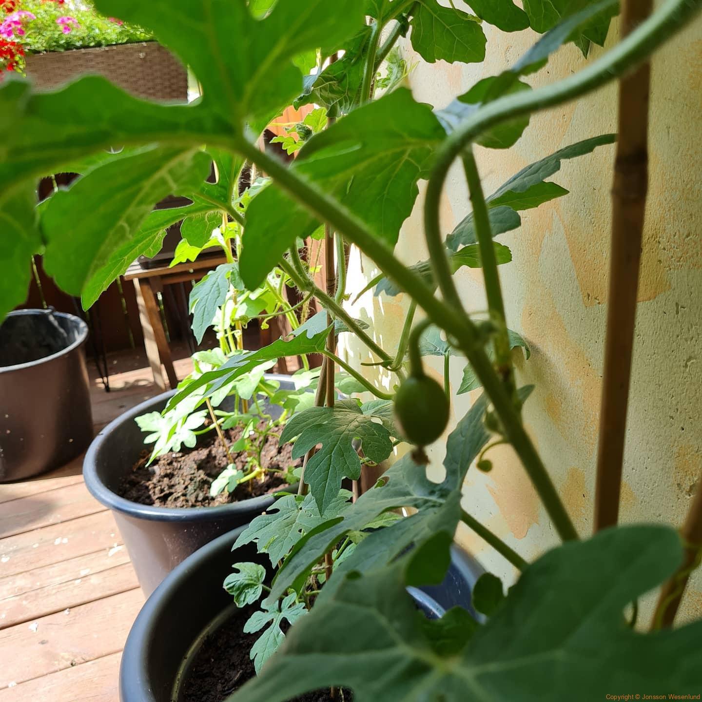 """Meloner på g. Första bilden har bara början av """"gravidmagen"""" Andra bilden är plantan längst höger och den har kommit längre.   Man måste polinera själv så något har vi lyckats med."""