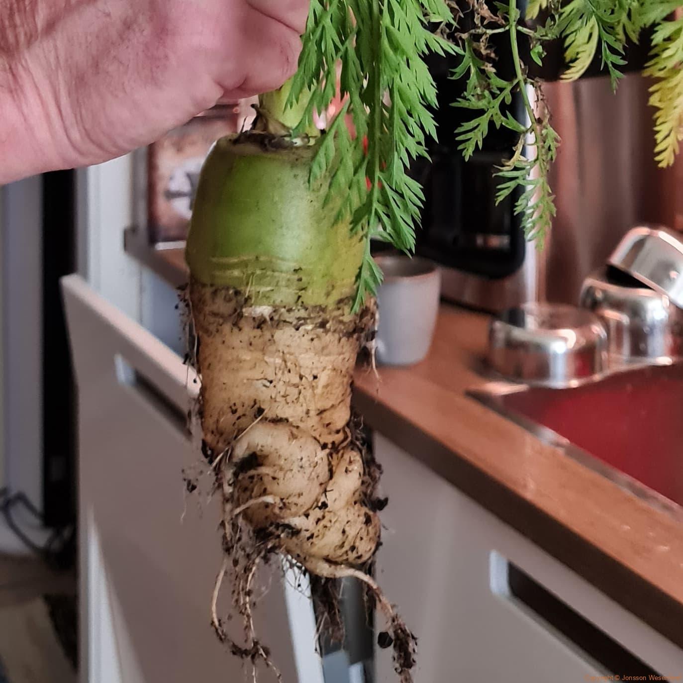 Morötter är vi inte duktiga på. Ny sort monstermorot kanske 🤪