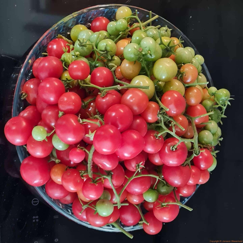 Början på slutskörd. 2 plantor av ett antal tomatplantor. Vad gör vi nu då?